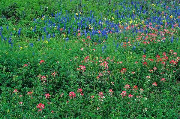Indian Paintbrush,Castilleja miniata,Texas Bluebonnet , Natalia, Medina County,Texas, USA