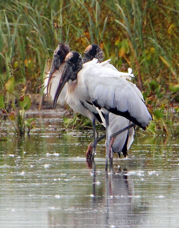 Adult wood storks