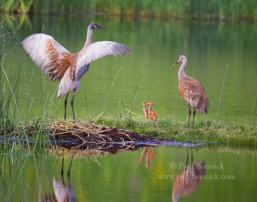 A female Sandhill Crane raises her wings as the male and young prepare to swim away.