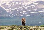 Grey wolf, Alaska