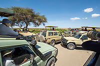 Photographers in safari vehicles create a traffic jam attempting to view a group of Lions, Panthera leo  melanochaita, in Serengeti National Park, Tanzania