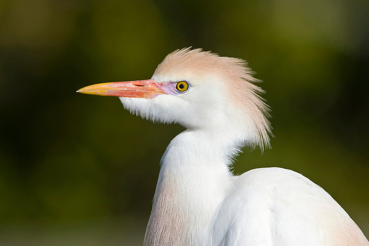 Cattle Egret - Bubulcus ibis - coming in to breeding plumage, Florida, USA