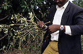 Lolgorian, Kenya. Siria Maasai; man holding the plant used for chew sticks, natural toothbrushes. Salvadora sp?