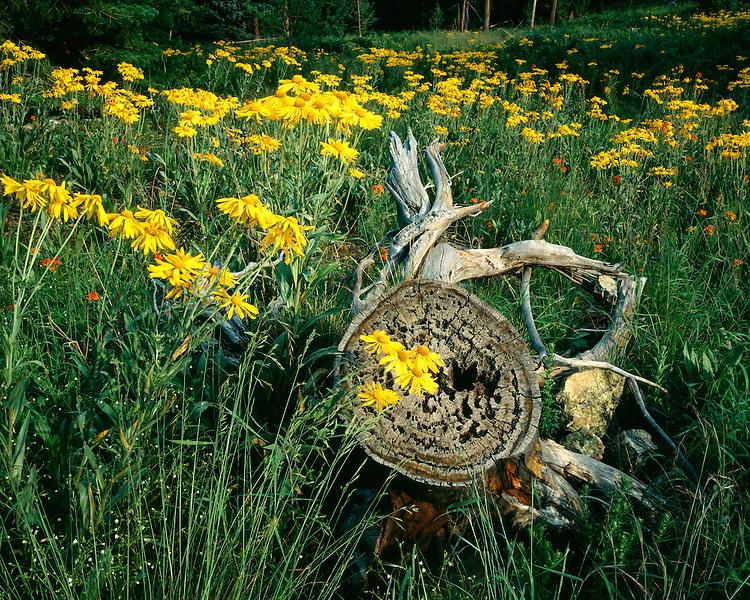 Mountain Helenium (Helenium hoopseii) in the Pinaleno Mountains; Coronado National Forest, AZ