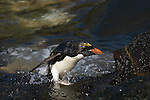 A macaroni penguin leaves the water at Cooper Bay, South Georgia.
