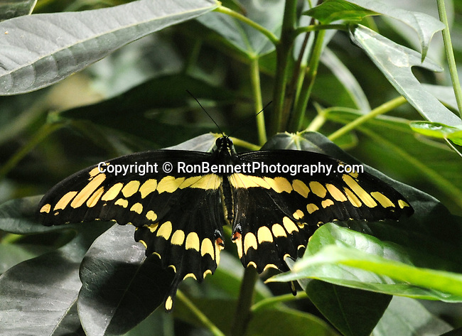Black with yellow wings Swallowtail butterfly, butterfly, Swallowtail butterflies are large, colorful butterflies that form the family Papilionidae there are over 550 species, Tropical, caterpillars possess a unique organ behind their heads called osmeterium, Fine Art Photography by Ron Bennett, Fine Art, Fine Art photography, Art Photography, Copyright RonBennettPhotography.com ©