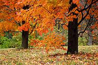 Orange colored fall Maple trees at the Morton Arboretum In Lisle, IL