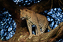 Male leopard (Panthera pardus) climbing an Acacia tree. Woodland on the edge of the short grass plains of the Serengeti / Ngorongoro Conservation Area (NCA) near Ndutu, Tanzania.
