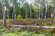 Quaking Aspen - (Populus tremuloides) - trees that have been snapped by strong winds in Livermore, New Hampshire USA