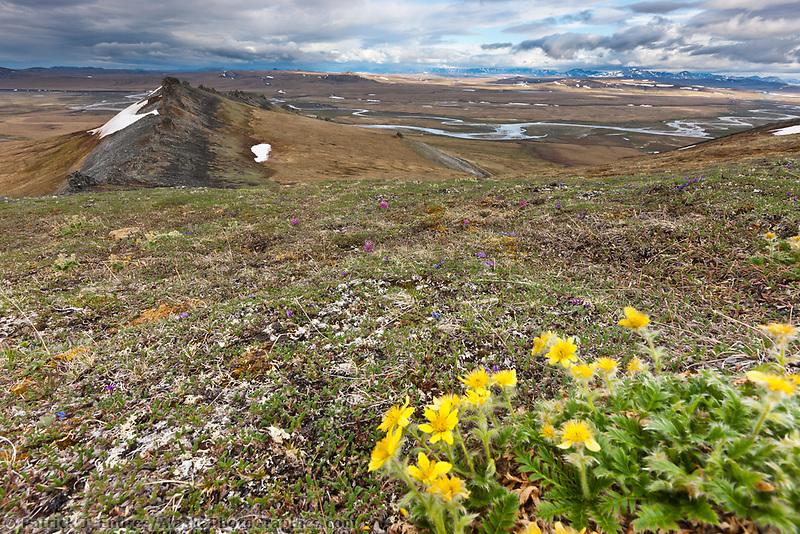 Spring blooming flowers on Puvakrat mountain, National Petroleum Reserve, Alaska.
