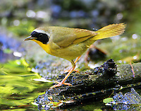 Male common yellowthroat