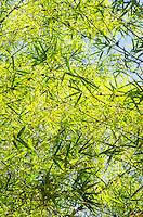 Bamboo forest in 'Akaka Falls State Park, Honomu, Big Island.