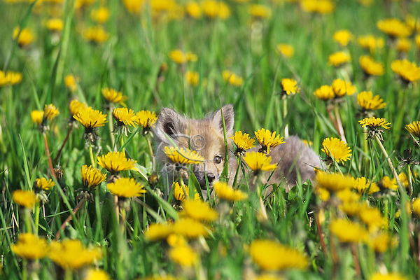 Red Fox (Vulpes vulpes) pup surrounded by dandelions.  Spring.  Western U.S.