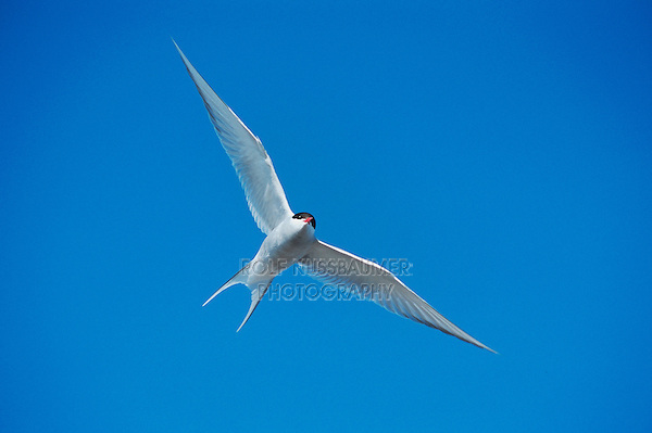 Arctic Tern (Sterna paradisaea), adult in flight, Norway, Arctic