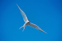 Arctic Tern (Sterna paradisaea), adult in flight, Norway, Arctic