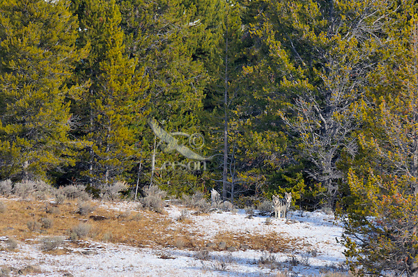 Wild Yellowstone gray wolves (Canis lupus).  Here at a rendezvous area an adult alpha female (howling) waits with her aproximately 6 month old pups for other pack members to return from their hunt.