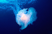 crown jellyfish, .Cephea cephea, .Kona, Big Island, Hawaii (Pacific).