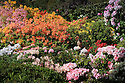 13/05/14<br /> <br /> Looking like summer has finally arrived, Kelly Emmerson, 23, admires the amazing display of azaleas and at Lea Gardens, near Matlock, Derbyshire. The blooms are the best the garden have seen in ten years because of the relatively frost-free spring.<br /> <br /> All Rights Reserved - F Stop Press.  www.fstoppress.com. Tel: +44 (0)1335 300098