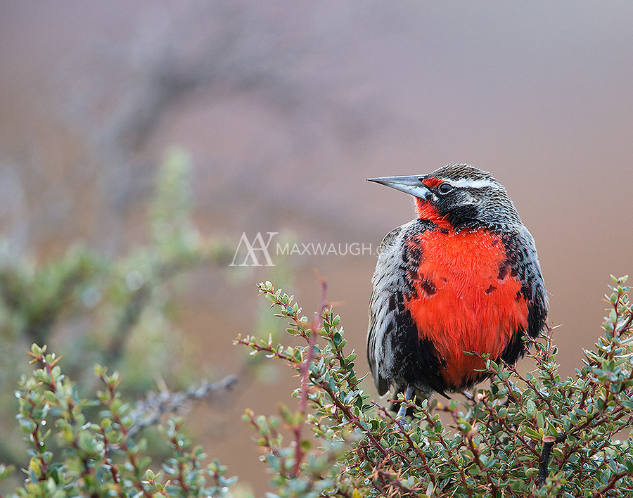The Long-tailed meadowlark male is easy to spot thanks to his bright red chest.