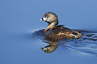 Pied-billed Grebe swimming in a small lake