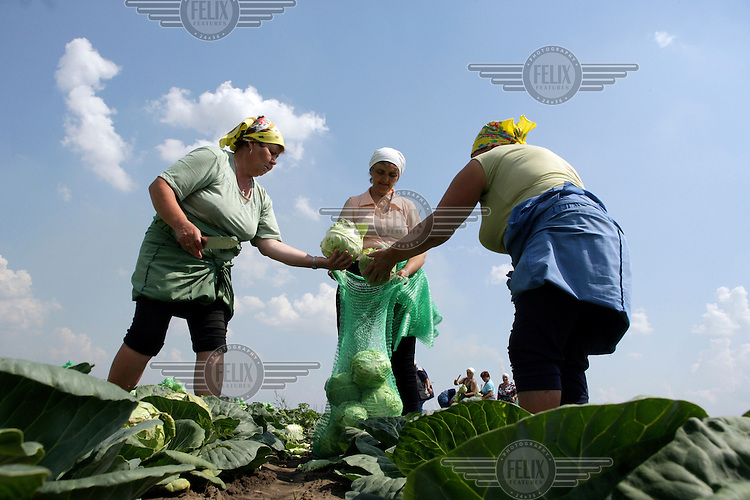 Workers harvest cabbage on a farm.