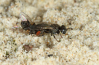 Weißfleckige Fliegenspießwespe, Weißfleckige Fliegenspiesswespe, Gemeine Spießwespe, mit erbeuteter Fliege, Oxybelus uniglumis, Common Spiny Digger Wasp, Square-headed Wasp
