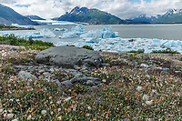 Summer landscape of Ice bergs in Inner Lake George with Mountain Dryas flowers gone to seed.   Chugach Mountains                             Photo by Jeff Schultz/SchultzPhoto.com  (C) 2018  ALL RIGHTS RESERVED<br /> <br /> Bill Daly Photo Tour July 2018