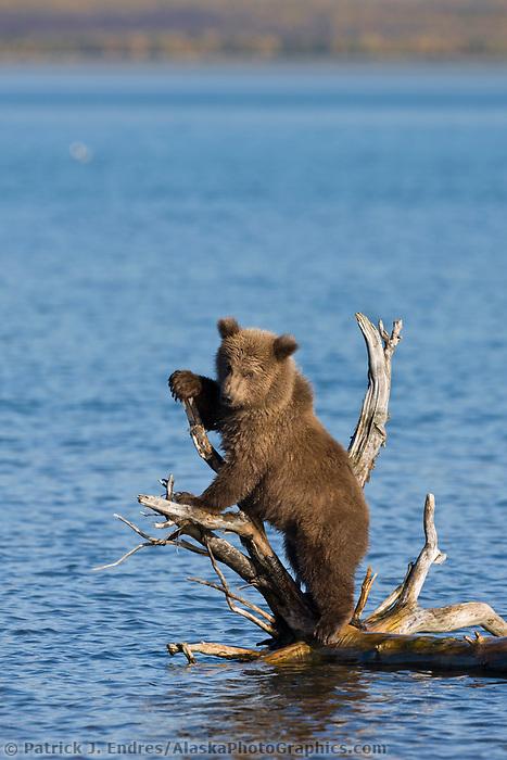 Brown bear cub plays on a drift wood snag in Naknek lake, Katmai National Park, Alaska.