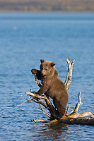Brown bear cub plays on a drift wood snag in Naknek lake, Katmai National Park, Alaska.