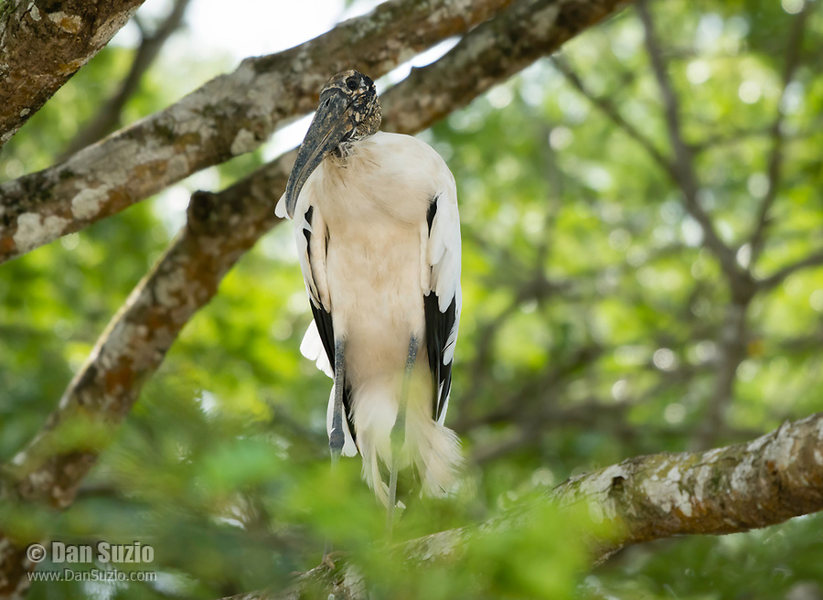 Wood Stork, Mycteria americana, perched in a tree beside the Tarcoles River, Costa Rica