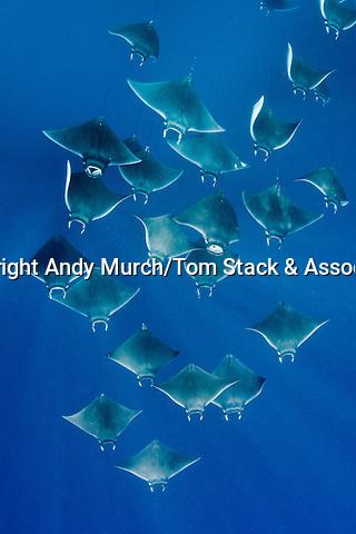 Atlantic mobula ray, Mobula hypostoma, aka lesser devilray or Atlantic devil ray, Isla Mujeres, Mexico, Caribben Sea.