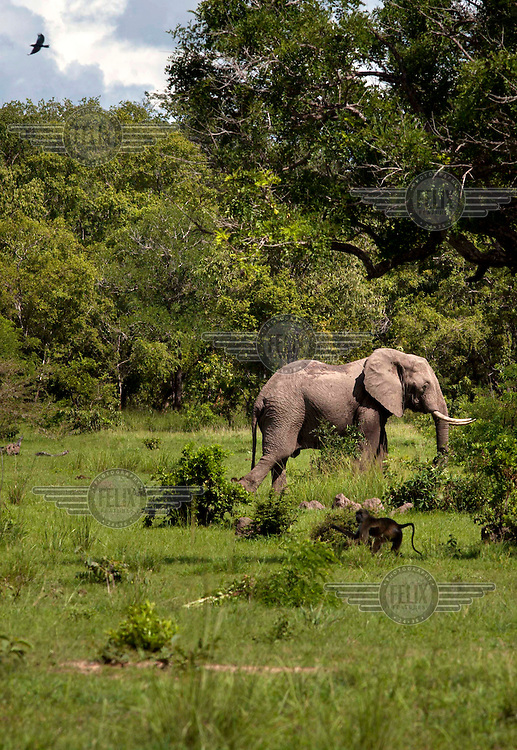 A lone Elephant in moves into cover in the Selous game reserve.