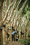 Rubber plantations in Xishuangbanna, China