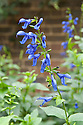 Salvia guaranitica 'Blue Enigma', mid October.