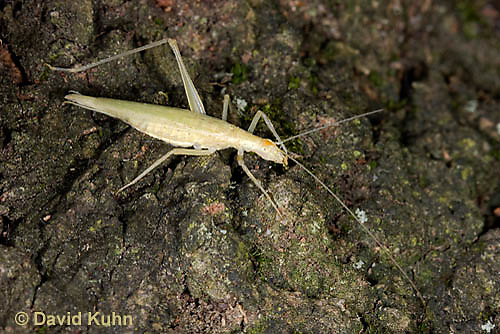 "0110-0907  Davis Tree Cricket (Missing One Leg), Oecanthus exclamationis ""Virginia""  © David Kuhn/Dwight Kuhn Photography"