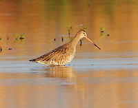 Female Hudsonian godwit in breeding plumage