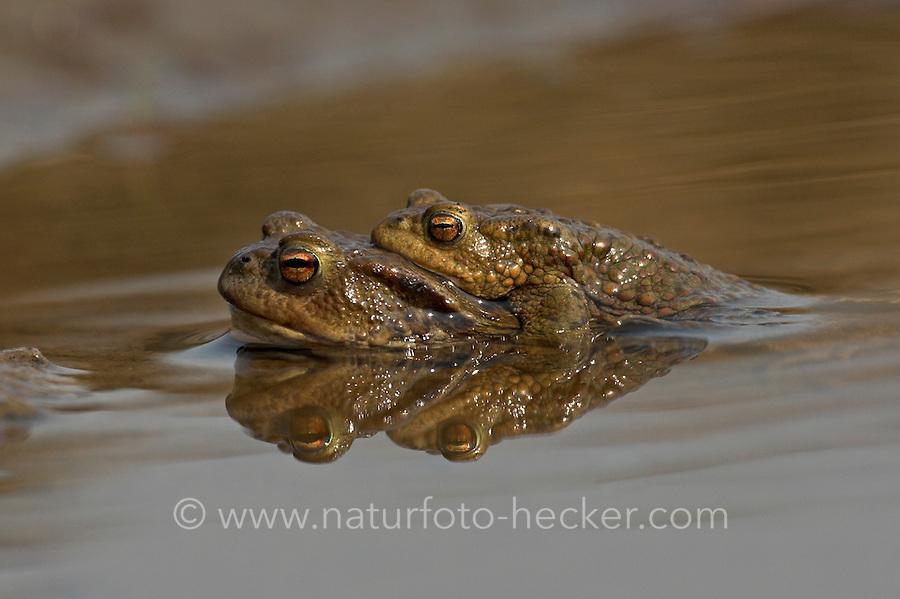 Erdkröte, Erd-Kröte, Kröte, Paarung, Männchen huckepack auf Weibchen, Bufo bufo, European common toad