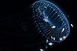 Aequorea forskalea, Black Water Diving; Gulfstream Current; Jellyfish; Plankton; SE Florida Atlantic Ocean; larval fish; pelagic creatures; pelagic larval marine life