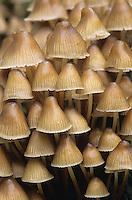 Helmling, Helmlinge, Pilzgruppe auf Totholz, Mycena spec., bonnet, mycena, helmet