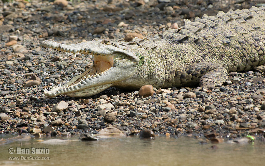 American Crocodile, Crocodylus acutus, basking beside the Tarcoles River, Costa Rica. Listed as Vulnerable in the IUCN Red List of Threatened Species.