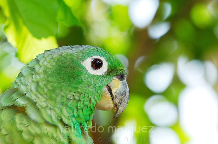 Mealy Parrot (Amazona farinosa) portrait, Soberania national park, Panama, Central America