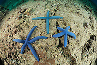 Linckia laevigata, kreuzfoermiger Blauer Seestern, Blauer Rundarmstern, Sea stars, Blue Sea Star in the shape of a cross, Bali, Indonesien, Indopazifik, Pemuteran, Bali, Indonesien, Asien, Indopazifik, Indonesia, Indo-Pacific Ocean, Asia