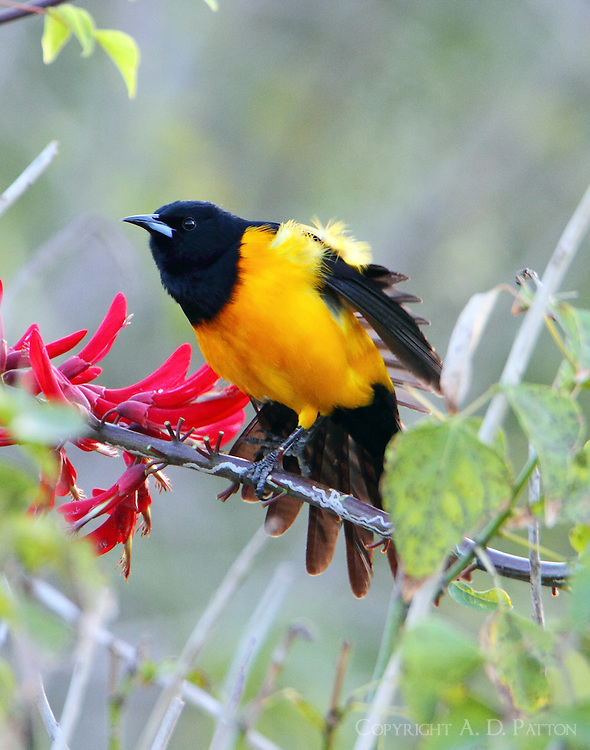 Black-vented oriole stretching