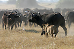 African buffalo rebuffs hunting lion, Botswana