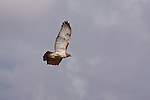 A redtail hawk in flight.