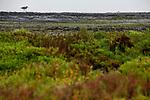 Willet<br /> (Tringa semipalmata) in slough, Elkhorn Slough, Monterey Bay, California