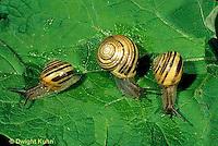 1Y08-054z  Snail - east coast land snail - Sephia hortensis