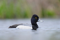 Adult male Lesser Scaup (Aythya affinis). King County, Washington. April.