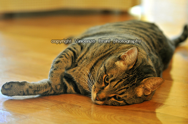 A brown tabby cat laying on a wooden floor