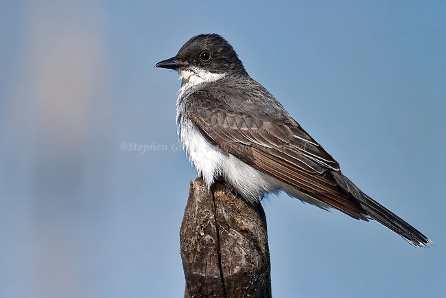 An Eastern Kingbird is perched up[on a snag in a swamp.